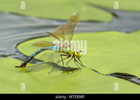 Emperor dragonfly (Anax imperator), female, laying eggs on a pond rose leaf in water, Burgenland, Austria - Stock Photo