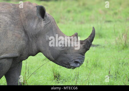 Pregnant rhino with full horn - Stock Photo