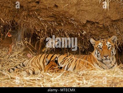 Bengal tiger (Panthera tigris tigris), tigress suckling young animal, Tadoba Tiger Reserve, India
