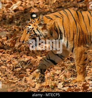 Bengal tiger (Panthera tigris tigris), running, close-up, Bandhavgarh National Park, India - Stock Photo
