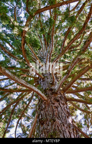 Sequoiadendron gigantium, Taxodiaceae - giant redwood tree on Mainau gardens Lake Konstanz - view looking up the trunk amongst the branches - Stock Photo