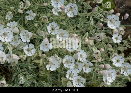 Flowering alpine campion, Silene 'Druett's Variegated'  withe white ang green leaves on a garden rockery, May - Stock Photo