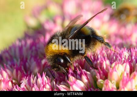 Macro shot of a bumble bee pollinating a sedum flower - Stock Photo