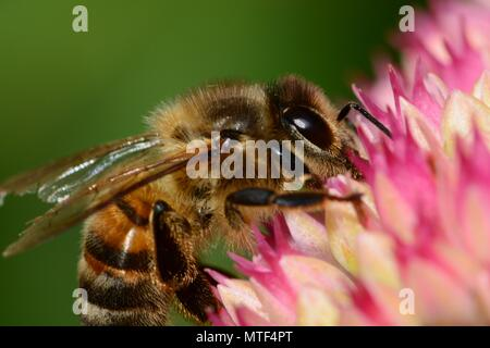Macro shot of a honey bee pollinating a sedum flower - Stock Photo