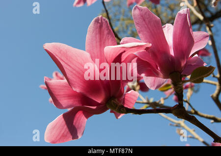 Magnolia flowers on tree - Stock Photo