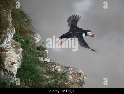 Pair of Atlantic Puffins (Fratercula arctica) greeting. Bempton Cliffs, East Yorkshire, UK. - Stock Photo