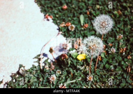 Dandelion. Two dandelions in the spring glade. - Stock Photo