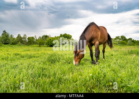 Brown horse grazing in a meadow, beautiful rural landscape with cloudy sky. Stories about rural life in Ukraine - Stock Photo