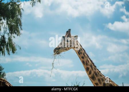 Giraffe in Fasano apulia safari zoo Italy - Stock Photo