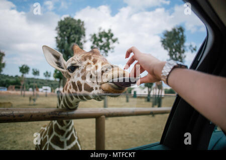 Giraffe and human hand in Fasano apulia safari zoo Italy - Stock Photo