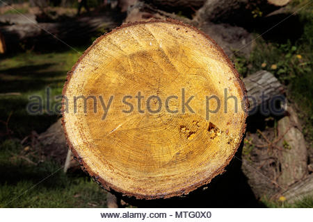Tree rings cross section of cut log showing age dendrochronology in High Park in Toronto Ontario Canada - Stock Photo