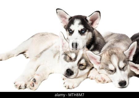 Cute Siberian husky puppies on white background. - Stock Photo