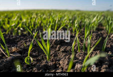 Young wheat seedlings growing in a field. Young green wheat growing in soil. Close up on sprouting rye agricultural on a field sunny day with blue sky. Sprouts of rye. - Stock Photo