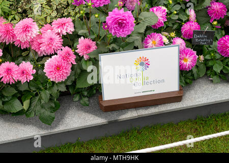 A display of beautiful Dahlia Bradley's Pink flowers on the National Dahlia Collection plot at the Chelsea Flower Show in London, UK. - Stock Photo