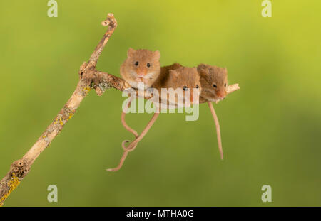 Trio of cure harvest mice sitting on a branch - Stock Photo