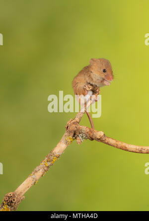 harvest mouse climbing in a studio set up - Stock Photo