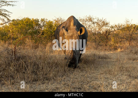 A Southern White Rhino grazing on the savannah in Sabi Sands Game Reserve