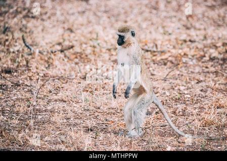 Vervet Monkey Confused - Stock Photo