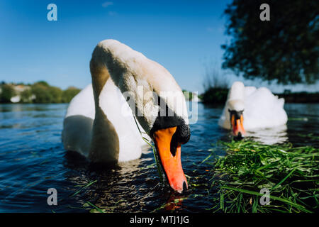 Close up of white grace swan couple stretching his neck and head towards the camera. Alster lake on a sunny day in Hamburg - Stock Photo