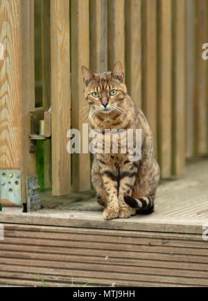 Brown mackerel cat sitting on wooden terace - Stock Photo