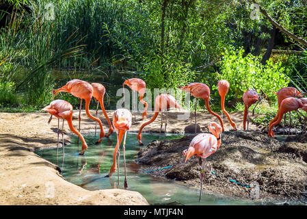 Beautiful red flamingo birds standing in water pond in the city zoo. - Stock Photo