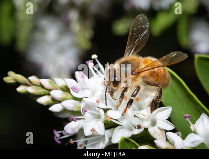 bee pollinating white flowers macro - Stock Photo