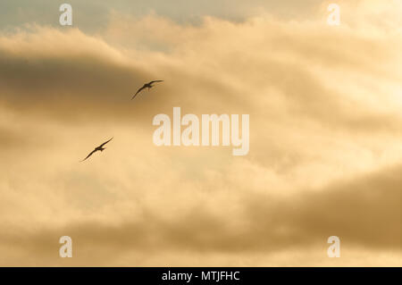 Two common tern (Sterna hirundo) silhouettes flying at sunset against golden clouds in Ses Salines Natural Park (Formentera, Balearic Islands, Spain) - Stock Photo