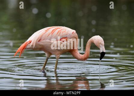 Chilean Flamingo - Phoenicopterus chilensis  Native of South America - Stock Photo