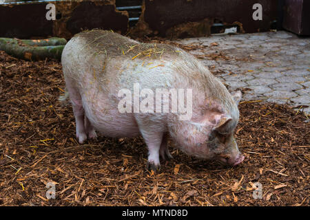 Big white pig standing on straw in the stable with grass on a farm. - Stock Photo