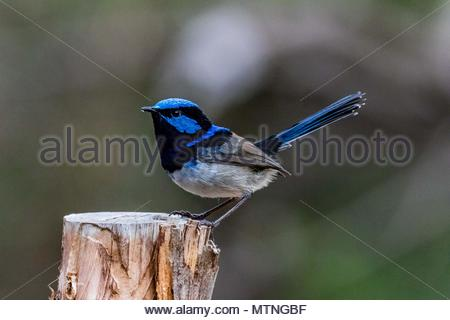 'Male superb fairy-wren standing on a fence post' - Stock Photo