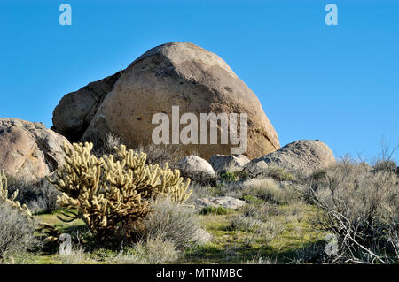 Buckhorn Cholla, Staghorn Cholla, Opuntia acanthocarpa, Granite boulders, Culp Valley, Anza-Borrego Desert State Park, CA 050115_2003 - Stock Photo