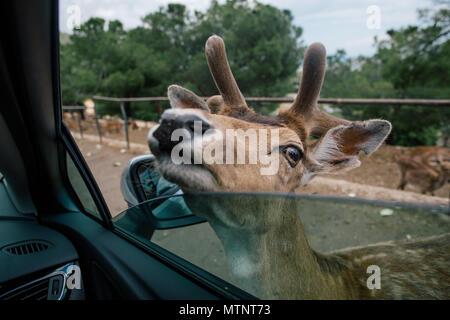 Deer by the car in Fasano zoo safari apulia Italy - Stock Photo