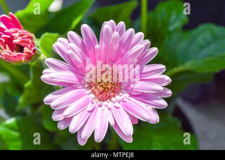 Gerbera flower, gerbera blossom pink - Stock Photo