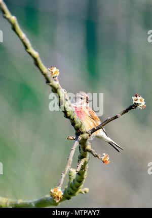 Common linnet (Linaria cannabina) male, UK, May