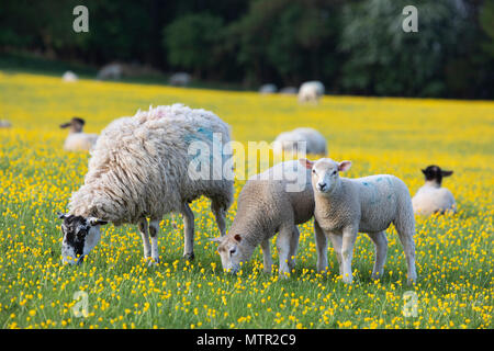 Sheep and lambs grazing in Buttercup field, Broadway, Cotswolds AONB, Worcestershire, England, United Kingdom, Europe - Stock Photo