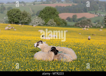 Sheep and lambs lying down in Buttercup field, Broadway, Cotswolds AONB, Worcestershire, England, United Kingdom, Europe - Stock Photo