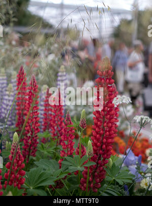 London UK, 2018. Stunning red lupins in foreground at Chelsea Flower Show hosted by the Royal Horticultural Society. Visitors blurred in background. - Stock Photo