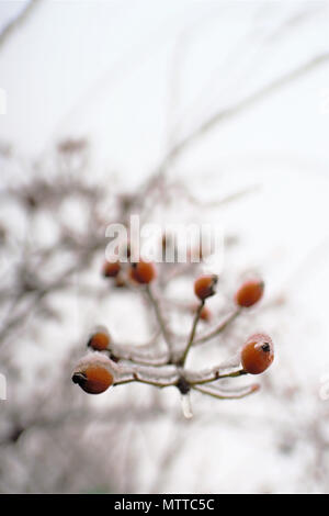 Berries of a dogrose on a bush covered with a layer of ice - Stock Photo