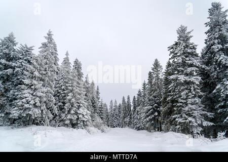 Snowbound spruces in the Carpathian Mountains, Ukraine - Stock Photo