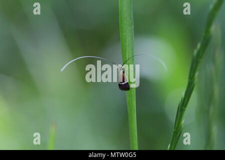 longhorn moth - Stock Photo