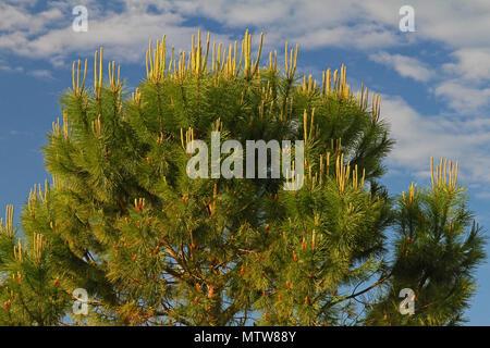 Mediterranean pine tree Latin pinus pinea also called umbrella, parasol or Italian stone pine family pinaceae not maritime pine pinus pinaster - Stock Photo