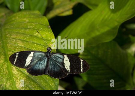 Sapho Longwing, Heliconius sapho, Nymphalidae, Costa Rica - Stock Photo