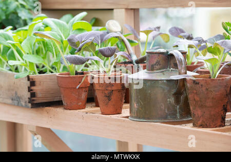 Potted plants and an old watering can inside a greenhouse in spring. UK - Stock Photo