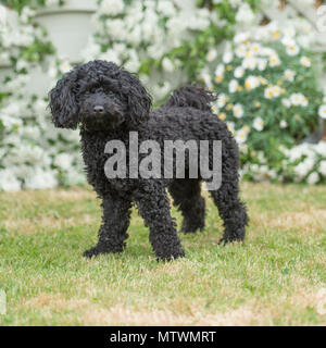 toy poodle - Stock Photo