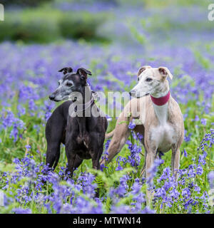 two whippets - Stock Photo