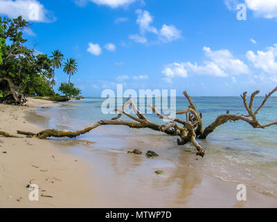 Wild coast of the island of Grande-Terre, Caribbean. Tree trunks in the sea, vegetation and palm trees on the beaches of Guadeloupe coast. - Stock Photo