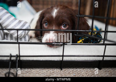 A 8 week old puppy spends its first night at its new home getting used to her crate which will become her safe place in the house. - Stock Photo