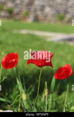 Three red flowers of common poppy - Stock Photo
