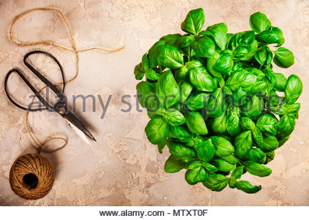 Basil background. Large green aromatic Mediterranean basil leaves on old stone background with place for text. Bunch fresh basil on a stone background - Stock Photo