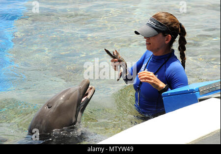 Marineland, USA. May 31, 2018 - Marineland, Florida, United States - A trainer feeds fish to a bottlenose dolphin at Marineland Dolphin Adventure in Marineland, Florida during the attraction's 80th anniversary celebration on May 31, 2018. The park, the world's first oceanarium, opened in 1938 as Marine Studios, allowing  filmmakers to shoot underwater footage and visitors to see marine life live and up close. Credit: Paul Hennessy/Alamy Live News - Stock Photo